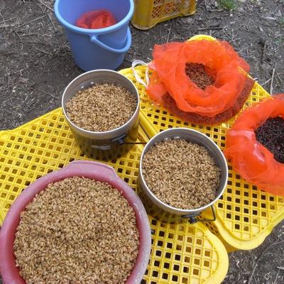 稲の種。手前がうるち米(栄光という品種です)、奥が赤米と黒米。木村さんがつくり続けてきた米を発芽させて種にしました