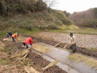 最後に、稲藁の掛け布団をかけてあげます。翌日からまた雨でした。藁の布団がちょっとでも役に立ってくれたらいいなあ