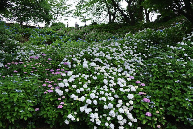 センター南駅から徒歩5分、「都筑区のアジサイ寺」とよばれる正覚寺の境内。斜面一面に咲き誇るアジサイが美しい!