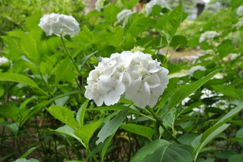 白い花の品種は、アントシアニン色素が無いので花の色は変化しない