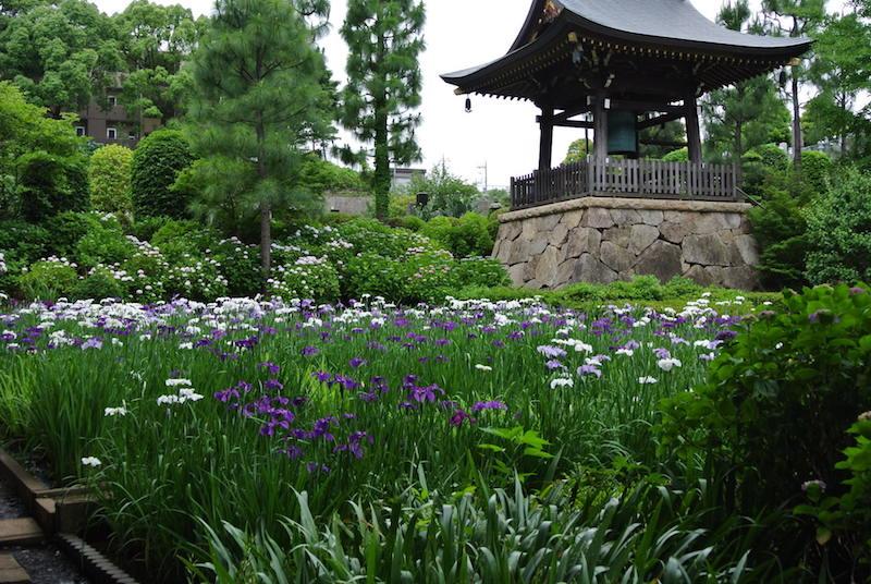 奥にはアジサイ、手前にはハナショウブが咲き誇り、6月は二つの花が同時に楽しめる