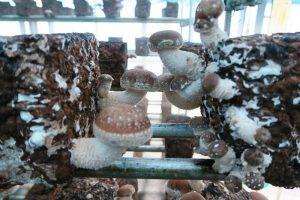 シイタケ。湿度が80%以上あり、室温30度までに収まるよう温度を調整している。9月から6月にかけて栽培