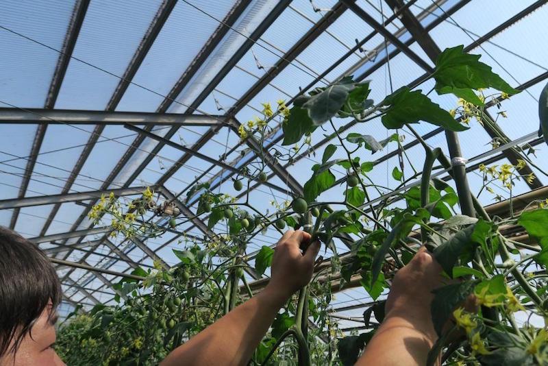 折り曲げた茎を指さす勝太さん。額には玉のような汗。この日ハウスの中は約35度。