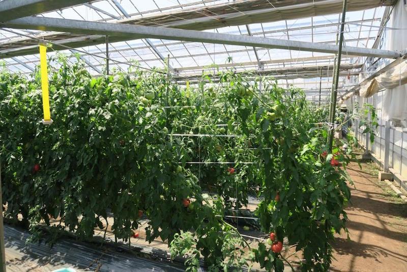 このハウスで栽培をはじめて4年目。年ごとに仕立て方を試行錯誤。今年は茎を斜めに誘引する。