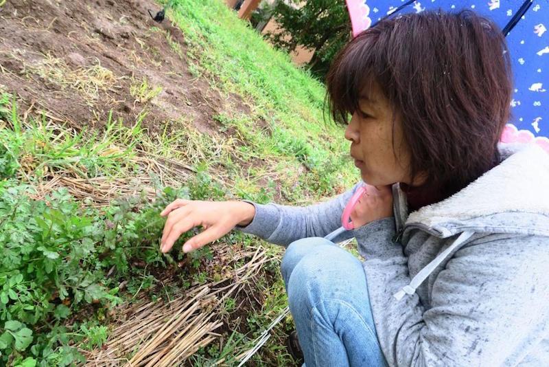 コリアンダーを摘む角田さん。強い芳香を放つコリアンダーをいただく。「春巻きにします」(私)「コリアンダーの種まきは秋まきがいいのよ」(角田さん)「あ、生春巻きの意味でした」(私)……かみ合わない会話に二人で笑う