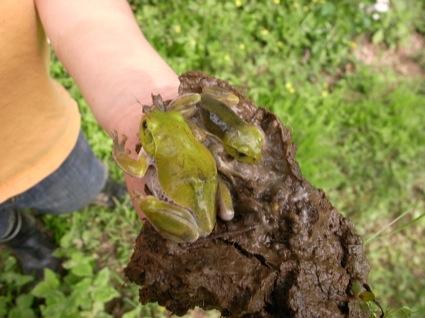 代かきした田んぼの中から、冬眠状態のカエルが出てきました