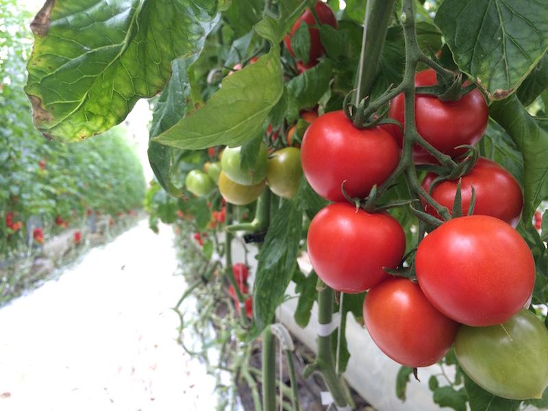山本温室園の主力・カンパリトマト。高軒高のハウスの天井いっぱいまで、たわわに実をつけている