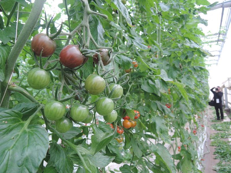 カンパリのほかにも色とりどりのミニトマトがなっていた