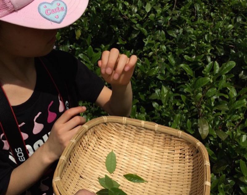 今では小学2年生の長女は、0歳の時から茶摘みに参加している。茶を摘む手はこなれたものだ