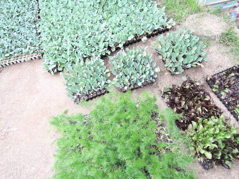 取材をした3月末には、ブロッコリー、フェンネル、ロマネスコ、チコリーなど試作品も含めて8種類の苗を育てていた。「種苗店の同級生がいて、珍しい種が入ったら教えてくれるんです」。平本さんの強みは、多彩なネットワーク!
