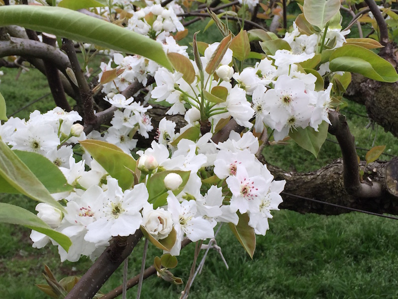 春に花を咲かせる梨の花。可憐な花を愛でるのもまた梨農園の楽しみ