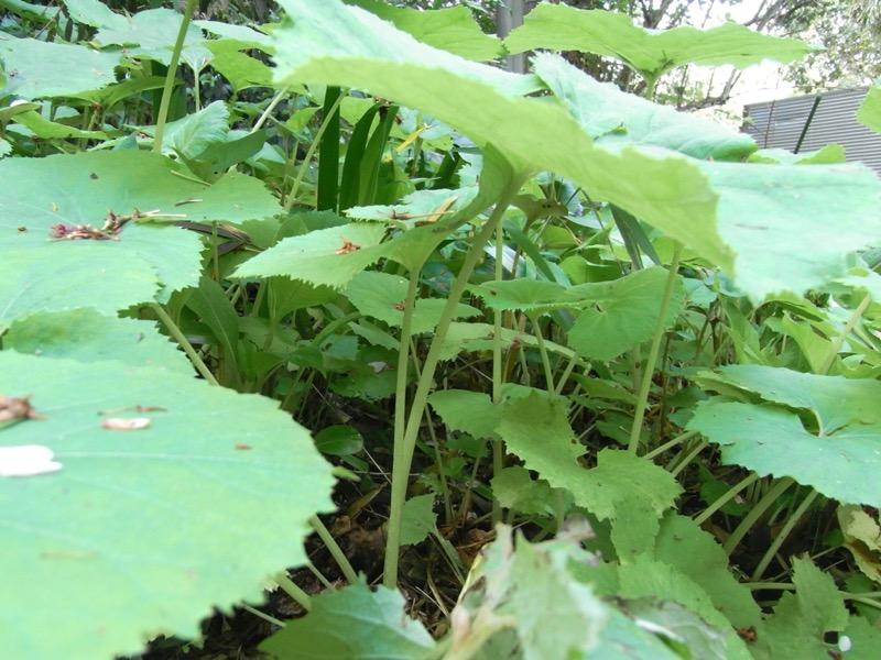 蕗も、春の旬を感じる代表的な苦み食材の一つ