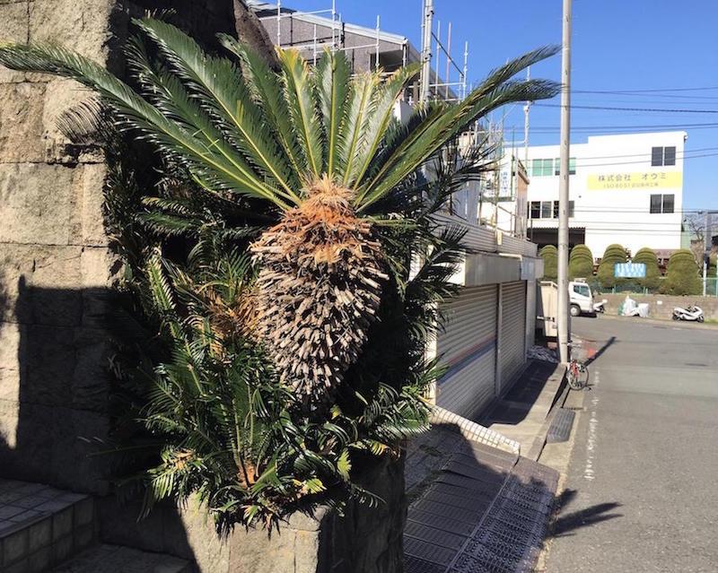 通り沿いでわたしが最初に気になったのは、とあるマンションの入り口で南国の雰囲気を醸し出す迫力のこの木だった