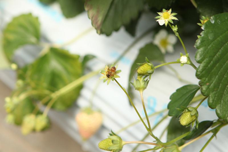 ミツバチちゃん、頑張れ!そしていつもありがとう♪ 美味しいイチゴになりますように