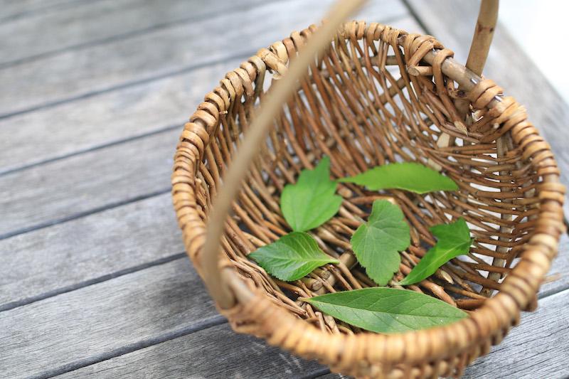 お庭で摘んだアジサイやサツキなどの葉。形や色、表裏や感触がこんなに違うものなのかと気づく