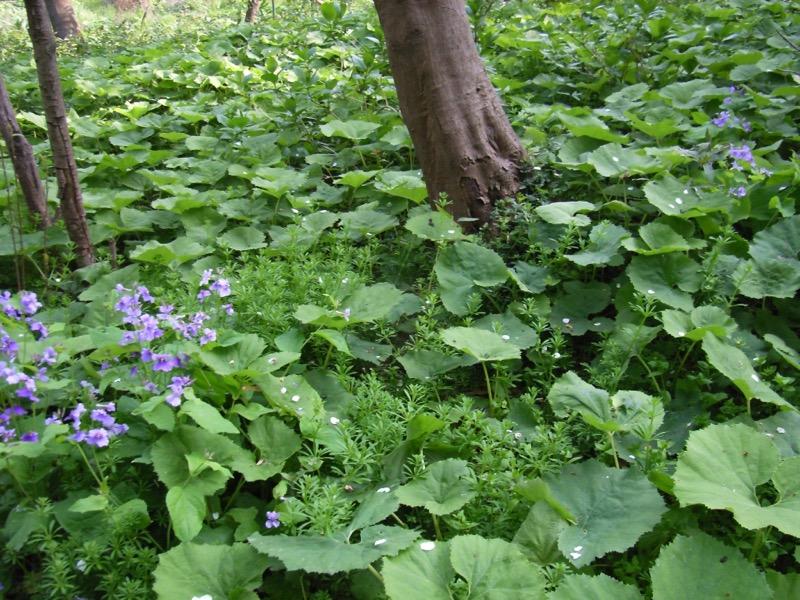 農家さんの庭山で自生する蕗